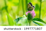 Polyommatus Icarus. Butterfly...