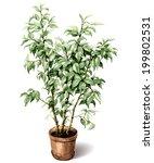 watercolor pot plant ficus... | Shutterstock .eps vector #199802531