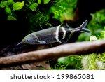 Gnathonemus petersii - Elephant nosed fish