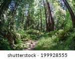 Giant Redwood Forests Form...