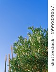 Tall Cactus Bushes Are Brightly ...
