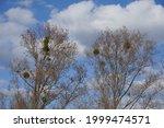View Of Mistletoe Growing On...