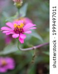 Close Up Zinnia Flower On Green ...