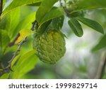 Fruit Custard Apple Tree  Sugar ...
