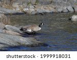 Canadian Goose Seen In The...