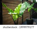 alocasia macrorrhiza black stem ... | Shutterstock . vector #1999979177