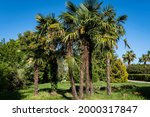 Blooming Chinese Windmill Palm  ...