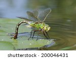 Emperor Dragonfly   Anax...