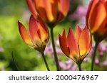 Two Red Wild Tulips  Tulipa...