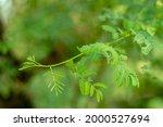 Vachellia Nilotica Is A...