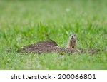 European Ground Squirrel...