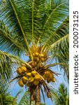 palm tree with coconuts | Shutterstock . vector #200073125