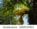 Flowering Chinese Windmill Palm ...