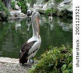 Beautiful Pelican Bird At The...