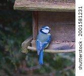 Blue Tit  Cyanistes Caeruleus ...