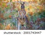 Front On Kangaroo  Macropodidae ...