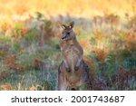 Small Kangaroo  Macropodidae ...