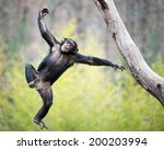Young Chimpanzee Swinging And...