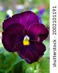 Flowers Violet Field Or Wild...