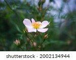 Flower Of Sweetbrier Or Wild...