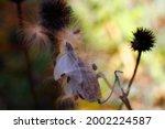 Seeds And Seedpods Of Milkweed