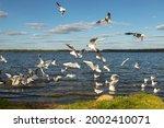 Feeding Birds. Gulls And Ducks...