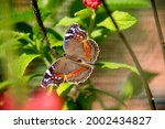 Garden Commodore Butterfly On...