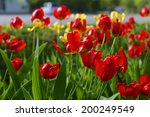 red  and yellow tulip  flower ...   Shutterstock . vector #200249549