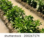 watering sweet peppers bed by... | Shutterstock . vector #200267174