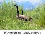 Breeding Pair Of Canada Geese...