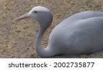 blue crane stanley heavenly... | Shutterstock . vector #2002735877