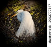 Great White Egret In The...