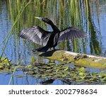 Anhinga (Anhinga anhinga) Suliformes  Anhingidae bird