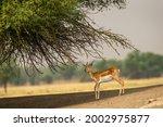 Blackbuck Or Antilope...