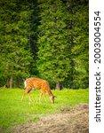 Wild Deer On A Green Meadow In...