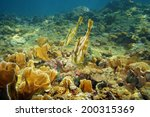 Small photo of Pair of Orange filefish, Aluterus schoepfii, in a coral reef of the Caribbean sea, Panama