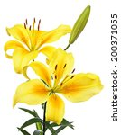 Lilies. Yellow Flowers Isolate...
