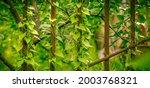 climbing plants on an old metal ... | Shutterstock . vector #2003768321