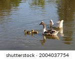 Small photo of Goose couple swimming with their progeny