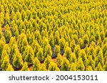 A Farm Planted With Thuja...