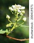Flowering Branch Of...