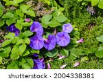 Small photo of Ipomoea nil is a species of Ipomoea morning glory known by several common names, including picotee morning glory, ivy morning glory, and Japanese morning glory.