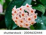 Pastel Pink Hoya Carnosa...