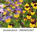 Field Of Horned Violet  Horned...