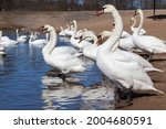 Group Of Swans In The Spring ...