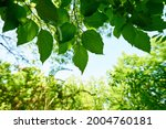 fresh green trees and sunbeams   Shutterstock . vector #2004760181