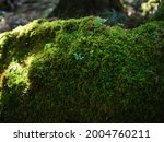 mossy forest in odaigahara ...   Shutterstock . vector #2004760211