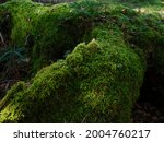 mossy forest in odaigahara ...   Shutterstock . vector #2004760217