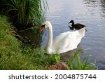 Swimming White Swan And Duck At ...
