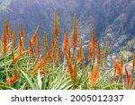 Beautifully Flowering Aloe Vera ...